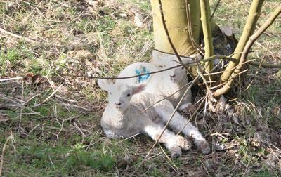 2-lambs