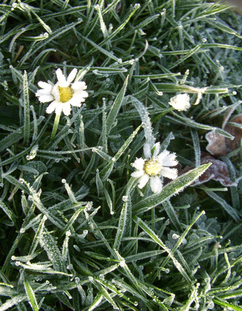 Frosted-daisies