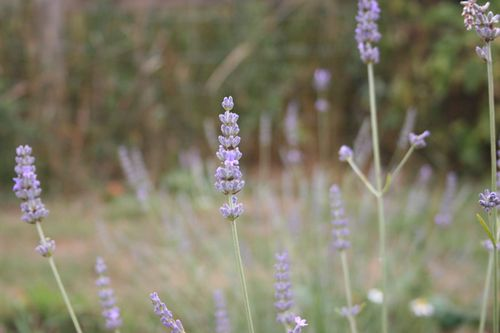 Lavender-survivor