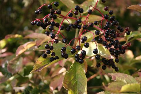 Elderberries-ripen