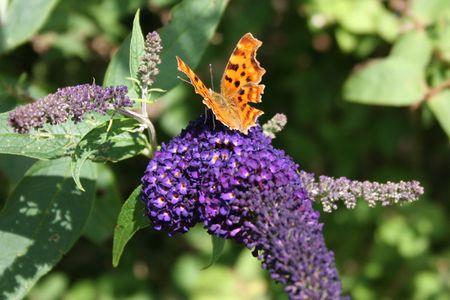 Buddleja-&-butterfly