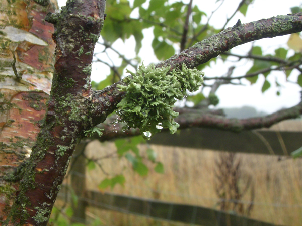 Lichen-liken-the-weather