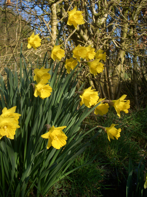 Happy-daffs