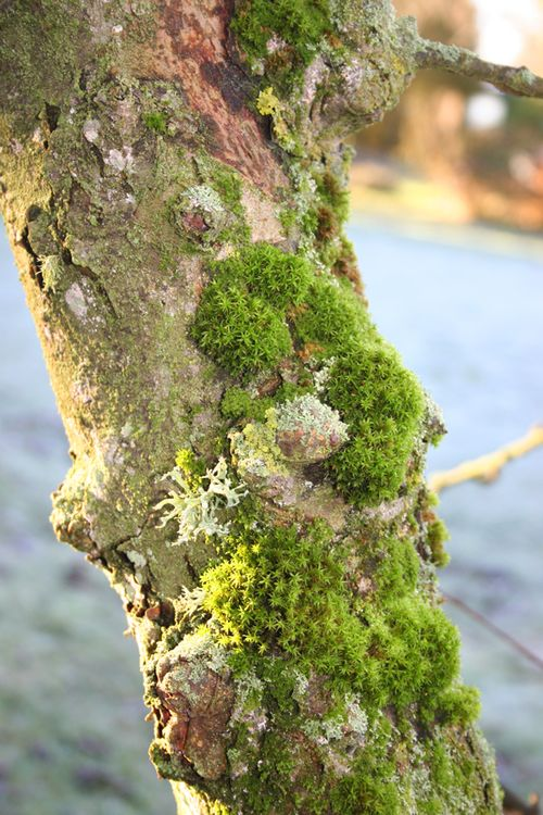 Mossy-apple-tree