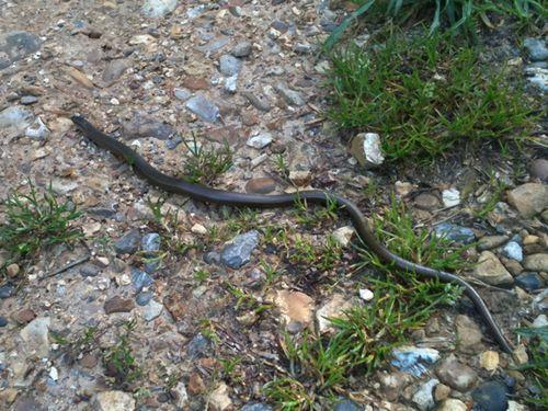Very slow slow worm