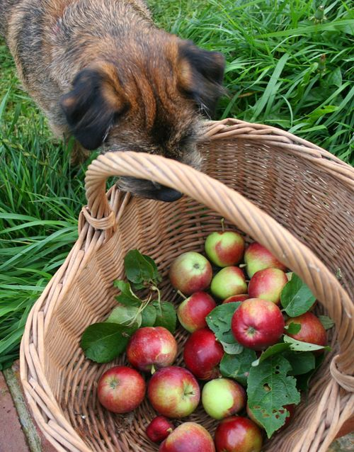 Apple-thief