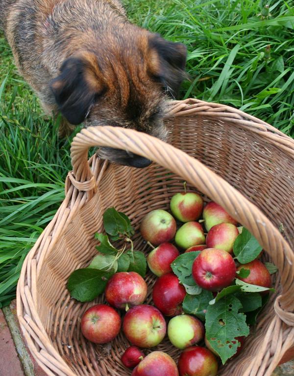 Apple-thief