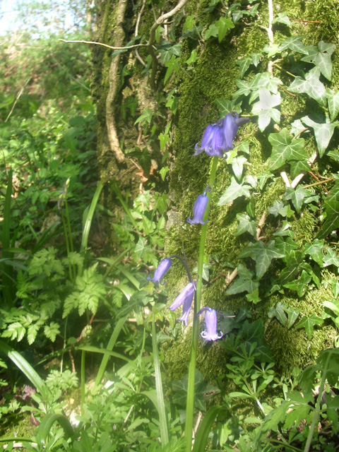 Bluebell-time