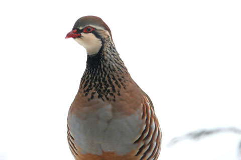 Partridge-in-snow