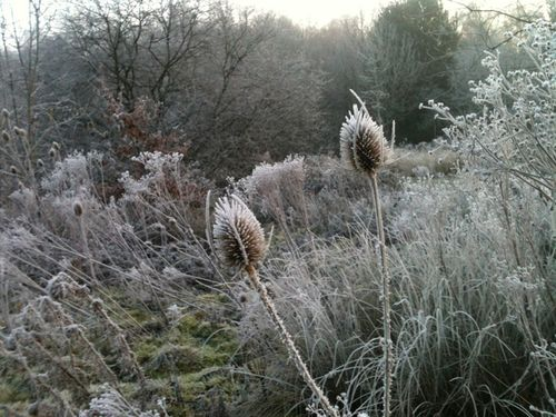 Icey thistles