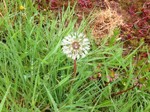 Drenched dandelion