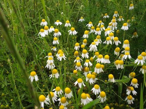 Wet daisies