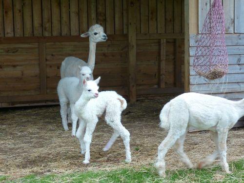 Snowy alpacas