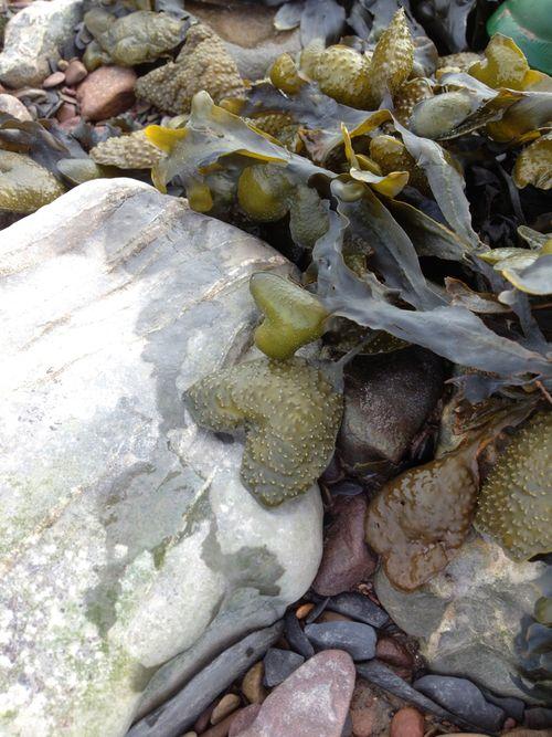 Sweet seaweed