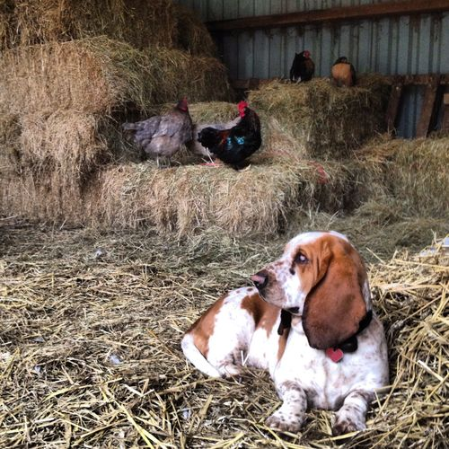 Penelope & hens